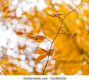 Beautiful orange hornbeam leaves hanging on branches. Autumn background of colorful leaves.