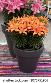 A Beautiful orange lilies in the pot in the garden
