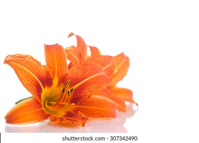 Beautiful orange lily on a white background