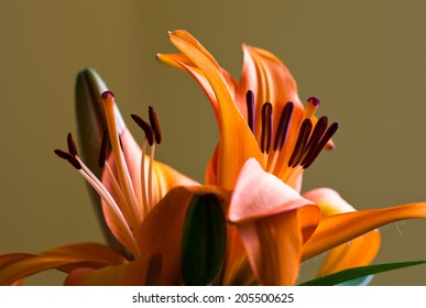 Beautiful orange lily set against a light brown background