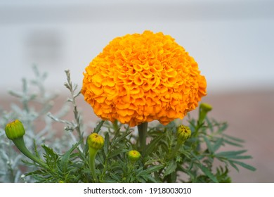 Beautiful orange marigold flower in garden