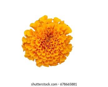 beautiful orange marigold flower isolated white background