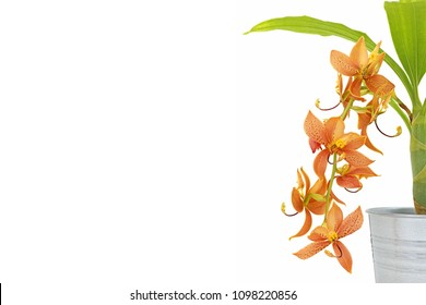 Beautiful of orange orchid flowers in iron pot with isolated on a white background