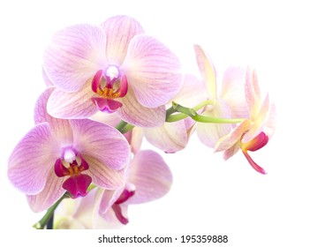 Beautiful orange orchid in the pot isolated on white background