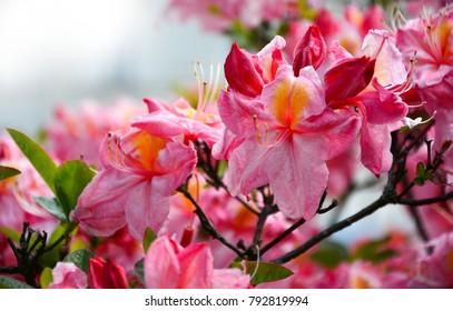 beautiful orange pink flowers rhododendron