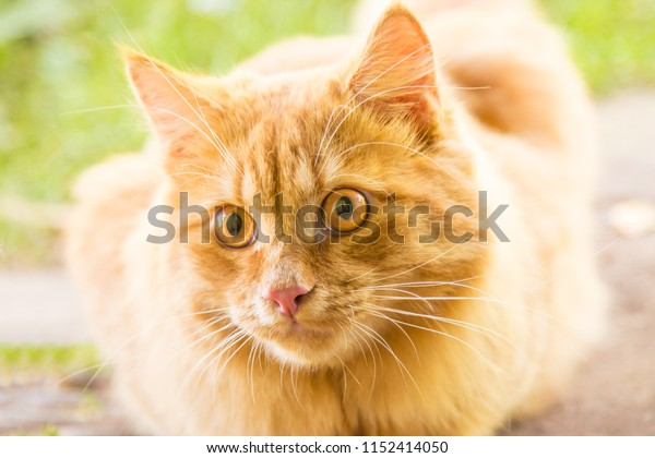 Beautiful orange red cat portrait, eyes look closeup, macro