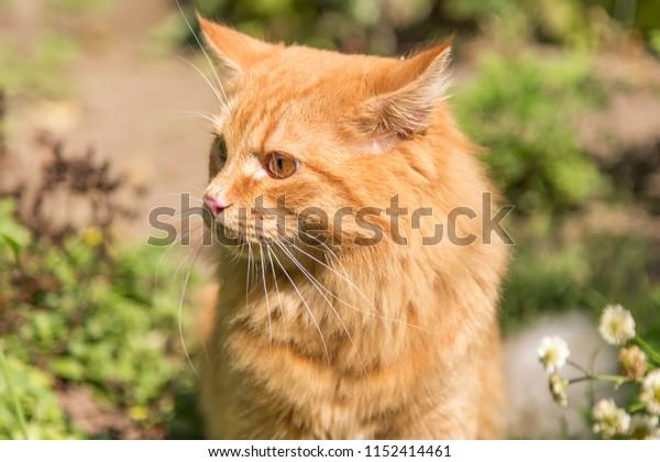 Beautiful orange red cat portrait closeup