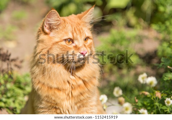 Beautiful orange red cat portrait closeup