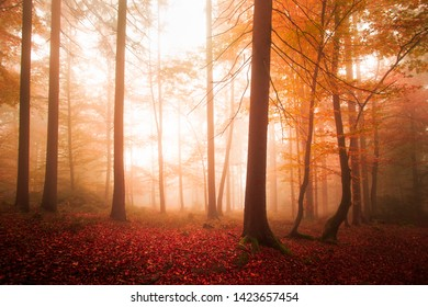 Beautiful orange red colored and saturated autumn season foggy light in the forest.