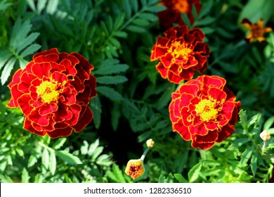 Beautiful orange red marigold flowers & leaves background pattern in tagetes garden. Close-up marigold flowers (Tagetes erecta, Aztec, African marigold flower). Floral background pattern tagetes card