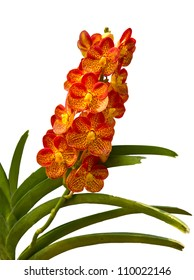 Beautiful Orange and Red Phalaenopsis Orchid on white background