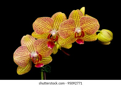 A Beautiful Orange and Red Phalaenopsis Orchid, Also Known as a Moth Orchid, Over Black