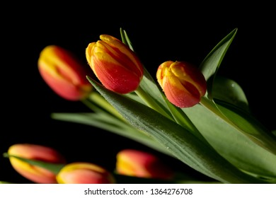 Beautiful orange and red tulip on black background