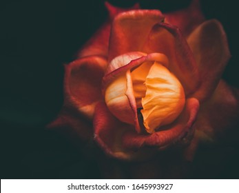 Beautiful orange rose close-up on a dark background.
