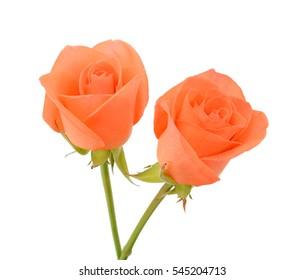 beautiful orange rose flowers isolated on white background