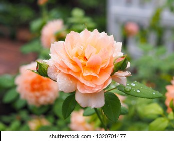 Beautiful orange rose with raindrop in the Japanese garden for background