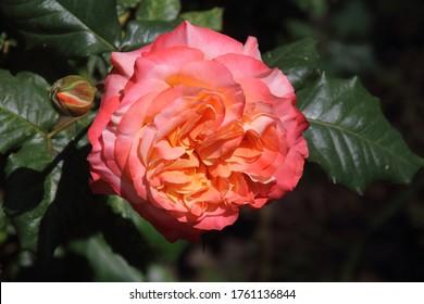 Beautiful orange rose in a summer garden