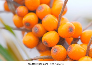 Beautiful orange sea buckthorn on a branch. Tasty exoticfruits. Close up