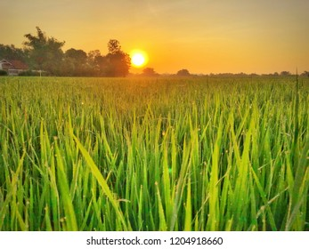 Beautiful orange sky while sun rises against  green rice field with dew drops