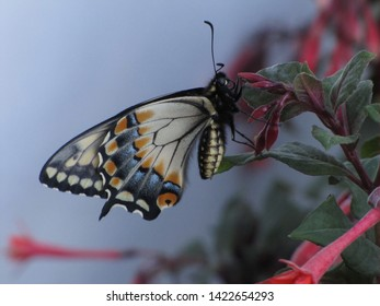 Beautiful orange and skyblue Butterfly with Macro lens, sipping from flower