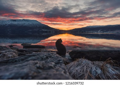 Beautiful orange sunset  landscape with pink clouds in a fjord reflection in Norway near the city of Tromso with hoarfrost on the rocks near the ocean. cat silhouette.