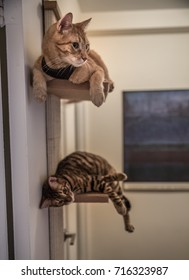beautiful orange tabby and toyger cats lounging on shelves in house