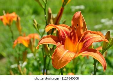 Beautiful orange Tiger Lily Lilium bulbiferum with green background.