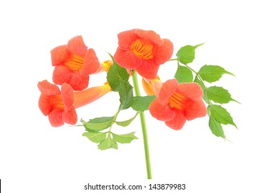 Beautiful orange trumpet flower isolated on a white background