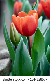A beautiful orange tulip blooms in the spring with droplets of water.