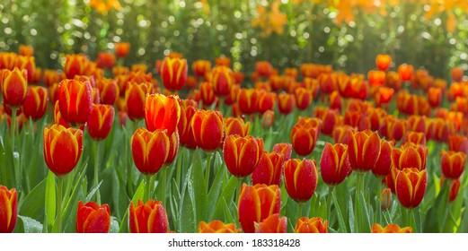 beautiful orange tulips flower in  nature background