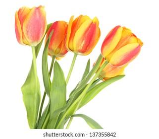 Beautiful orange tulips isolated on white