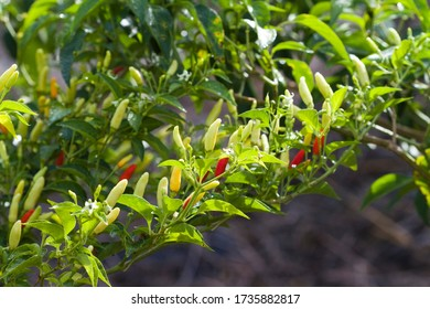 Beautiful Orange Yellow and Red Hot Peppers on Plant