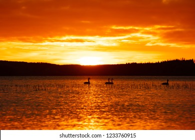 Beautiful orange and yellow sunset in Finland. In the foreground several swans swim.