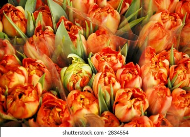 Beautiful orange/yellow tulips
