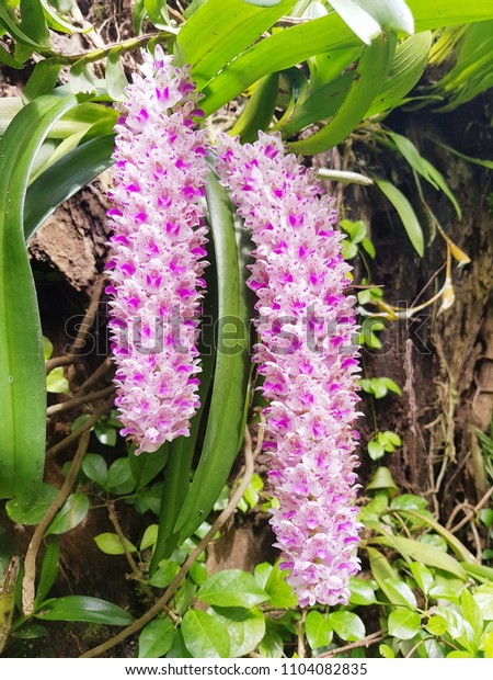 Beautiful Orchid In The Big Forest Khoa Yai International Park Thailand.