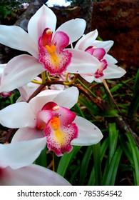 Beautiful orchid blooming beautifully.