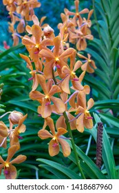 Beautiful orchid flower in National Orchid Garden in Singapore.