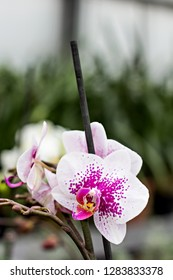 Beautiful Orchid Flower. Beautiful purple and yellow orchid flower - phalaenopsis. Phalaenopsis known as the Moth Orchid