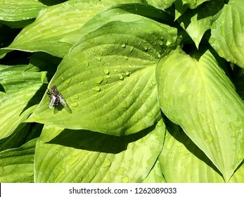 Beautiful ordinary home fly with wings is sitting on a green leaf to bask in the warm sun. Fly consisting of big net eyes, wide wingspan. Housefly quickly flies, house fly on countryside of outdoor.