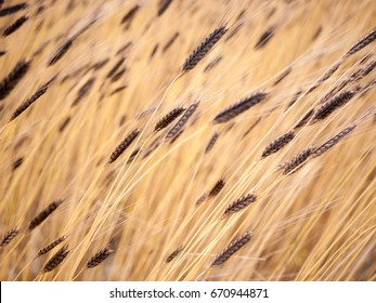Beautiful organic Einkorn wheat background. Yellow and brown hue. Organic cultivation, North Italy, Europe. Concept: organic, health, food