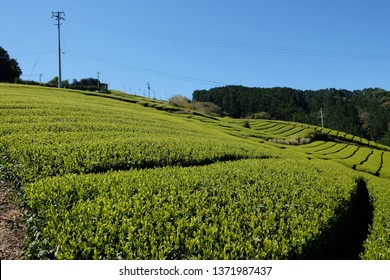 Beautiful organic tea field at Setoya, Japan. Shizuoka is one of the major prefecture that producing japanese green tea.