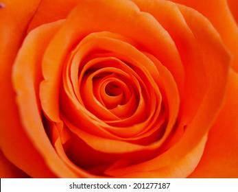 beautiful organs rose backgrounds