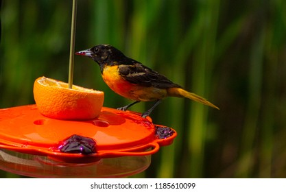 Beautiful oriole bird on a bird feeder eating a orange and grape jelly.