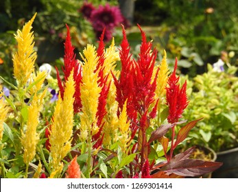 Beautiful ornamental decorative Flowers plants. Yellow and Red Cockscomb flower, Celosia spicata, woolflowers, Rooster comb.