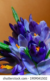 beautiful ornamental flowering houseplant crocus; deep violet flowers in studio on orange colorful free space background, spring nature awakening holiday