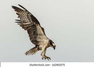 Beautiful osprey hunting in flight isolated against a gray sky