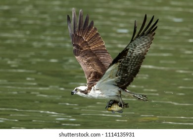 A beautiful osprey (pandion haliaetus) flies off after catching a fish at Fernan Lake in Idaho.