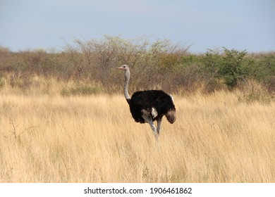 beautiful ostrich in the savanne in the middle of africa