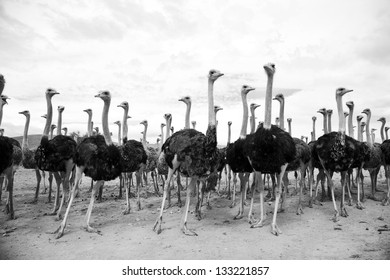 Beautiful ostriches posing for a photo