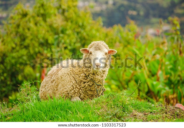Beautiful outdoor view of gorgeous white lamb grazing the pasture in a farm
